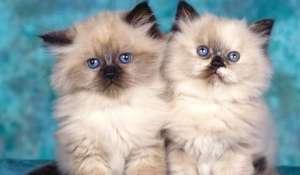 喜马拉雅猫咪饲养及护理原则